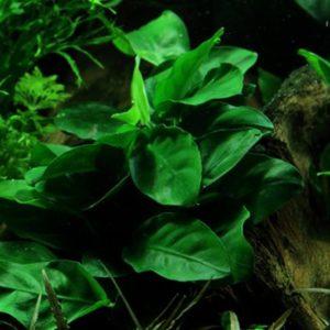 Anubias barteri var. nana - planta de acuario