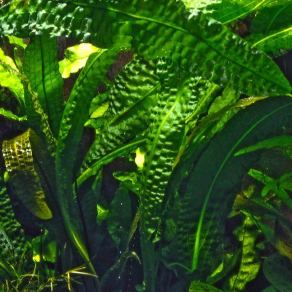 Aponogeton boivinianus - planta de acuario