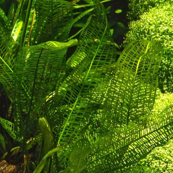 Aponogeton madagascariensis - planta de acuario