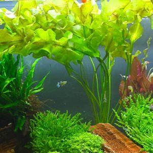 Aponogeton ulvaceus - planta de acuario