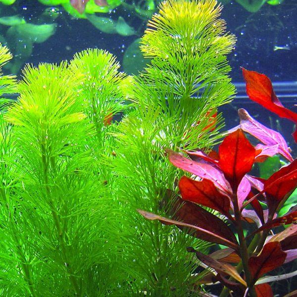 Cabomba aquatica - planta de acuario