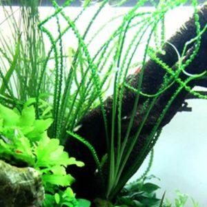 Crinum calamistratum - planta de acuario