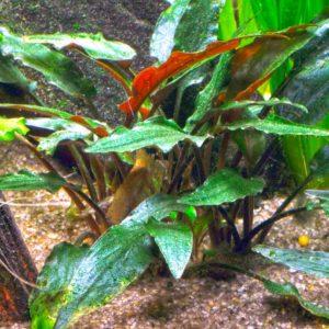 Cryptocoryne beckettii 'Petchii' - planta de acuario