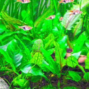Cryptocoryne wendtii - planta de acuario