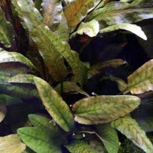 Cryptocoryne wendtiiTropica - planta de acuario