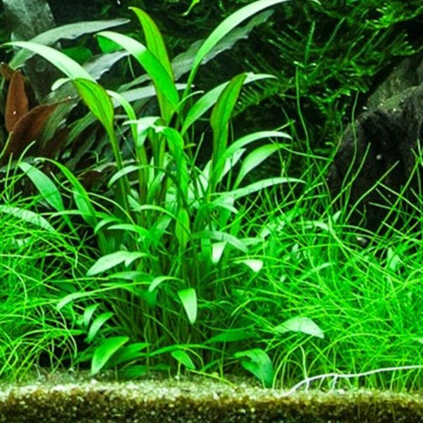 Cryptocoryne x willisii nevillii - planta de acuario