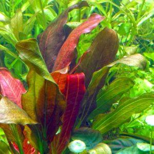 Echinodorus barthii - planta de acuario