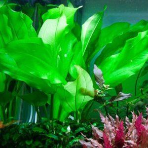 Echinodorus cordifolius 'Fluitans' - planta de acuario
