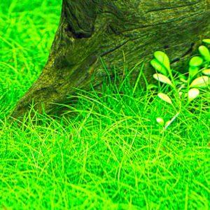 Eleocharis parvula - planta de acuario