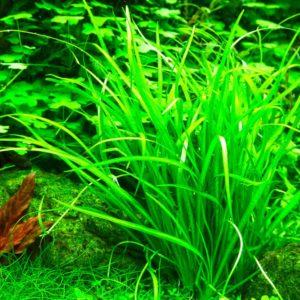 Helanthium tenellum - planta de acuario