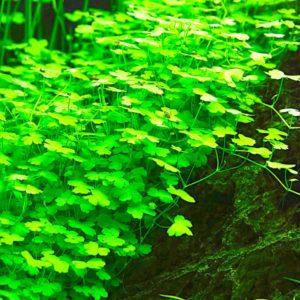 Hydrocotyle tripartita - planta de acuario