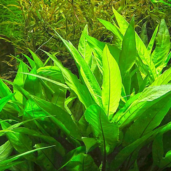 Hygrophila corymbosa - planta de acuario