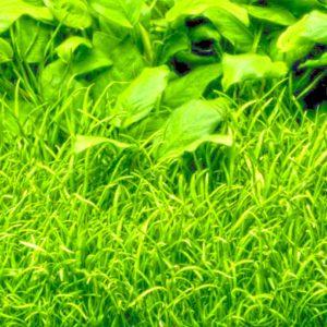 Lilaeopsis brasiliensis - planta de acuario