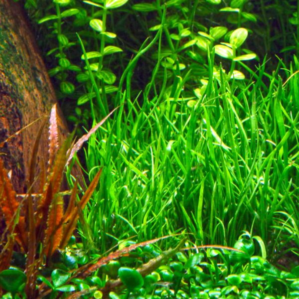 Lilaeopsis mauritiana - planta de acuario