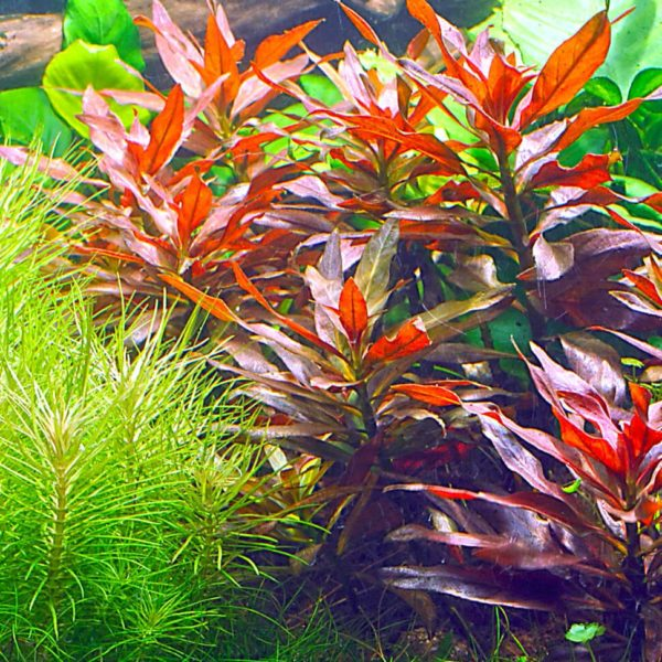 Ludwigia glandulosa - planta de acuario