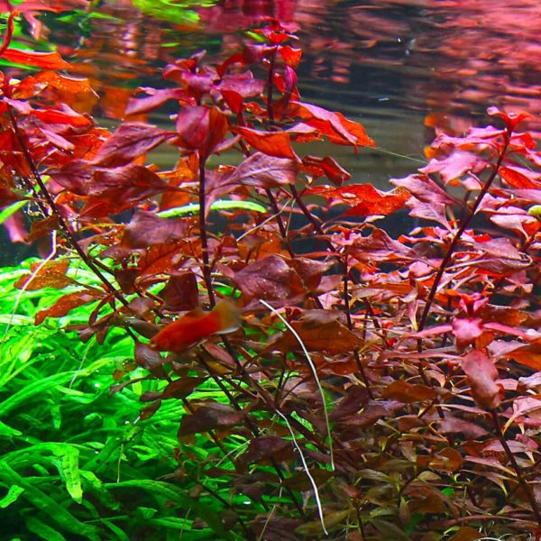 Bacopa australis - planta de acuario