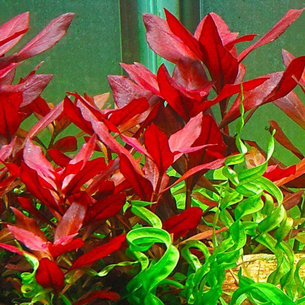 Ludwigia repens - planta de acuario
