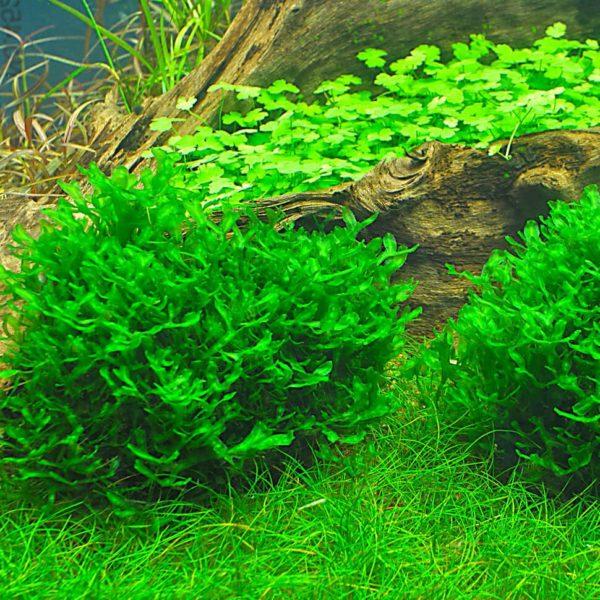 Monosolenium tenerum - planta de acuario