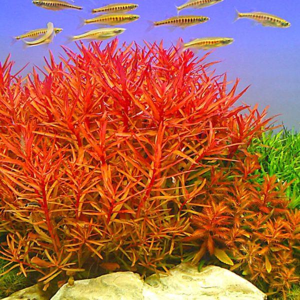 Nesaea crassicaulis - planta de acuario