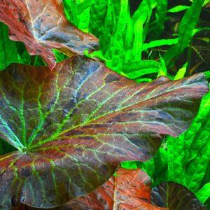 Nymphaea lotus - planta de acuario