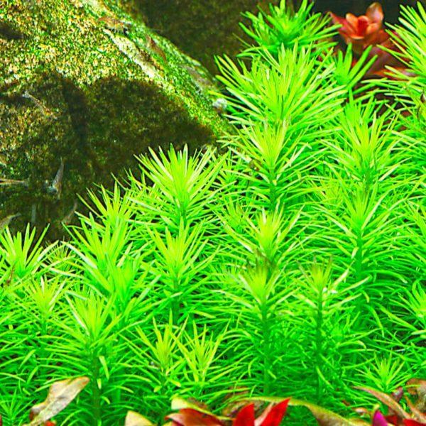 Pogostemon erectus - planta de acuario