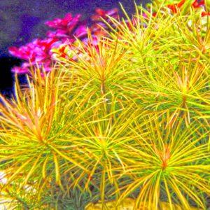Pogostemon stellatus (Eusteralis) - planta de acuario