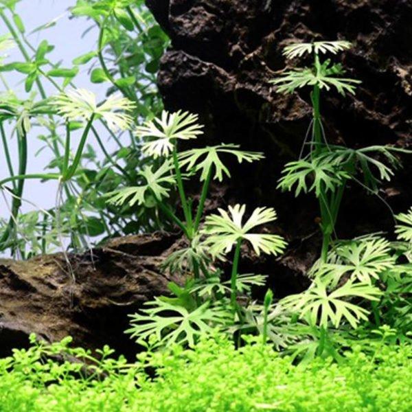 Ranunculus inundatus - planta de acuario