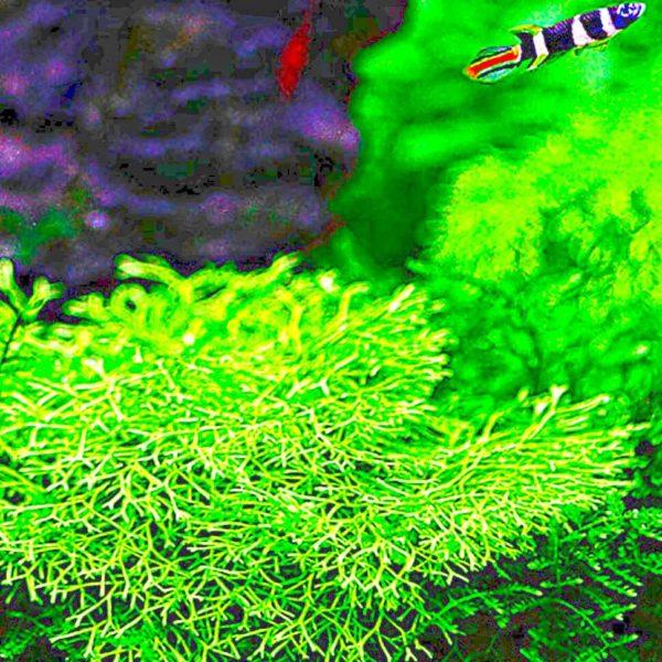 Riccia fluitans - planta de acuario