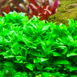 Staurogyne repens - planta de acuario