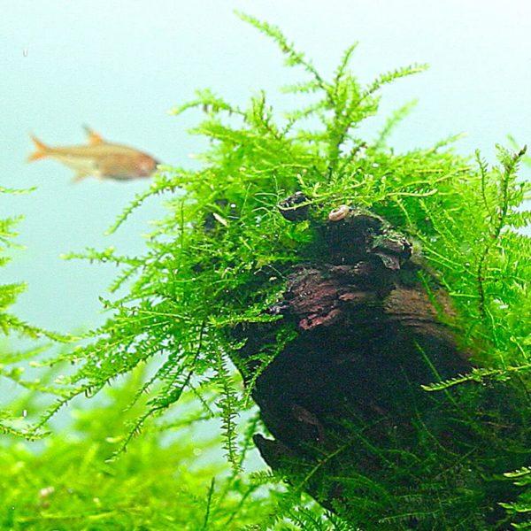 Taxiphyllum barbieri (Vesicularia) - planta de acuario
