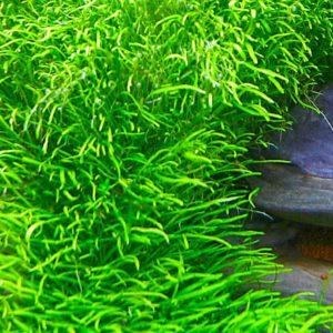 Utricularia graminifolia - planta de acuario
