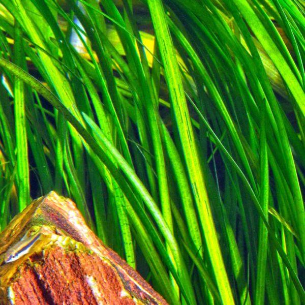 """Vallisneria spiralis """"Tiger"""" - planta de acuario"""