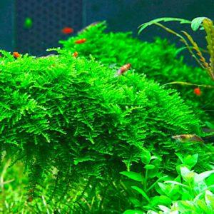 """Vesicularia dubyana """"Christmas"""" - planta de acuario"""