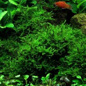 Vesicularia montagnei 'Christmas' - planta de acuario
