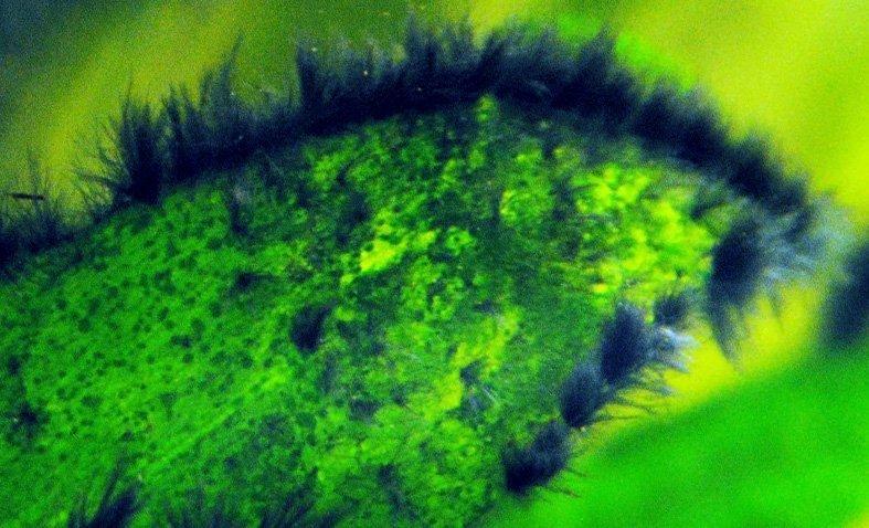 alga pincel