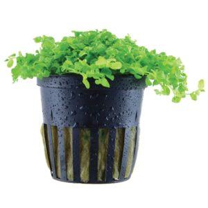 Micranthemum tweediei
